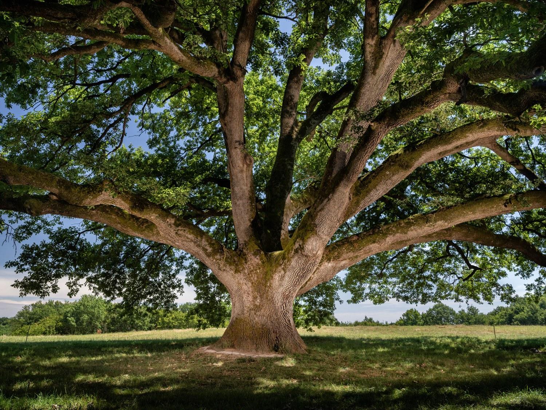 07/11 : L'arbre de Tombeboeuf